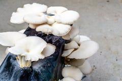 Seta de ostra u ostreatus del Pleurotus como ruido de fondo fácilmente cultivado imágenes de archivo libres de regalías