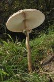 Seta de parasol Fotografía de archivo libre de regalías