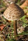 Seta de parasol comestible (procera de Macrolepiota) Imagen de archivo libre de regalías