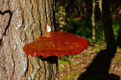 Seta de Reishi que crece en un hemlocktree Fotografía de archivo
