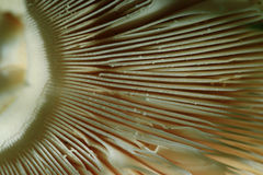 Seta del agárico de la textura Fotografía de archivo