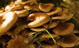 Seta del Armillaria en hojas de otoño Fotos de archivo libres de regalías