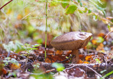 Seta del Bolete del abedul (scabrum del Leccinum) en Autumn Forest Fotos de archivo
