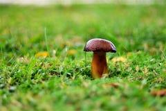 Seta del bollo del penique en la hierba verde en un césped con una pequeña profundidad del campo Imágenes de archivo libres de regalías
