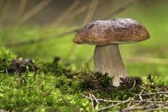 Seta del bosque, cep, boleto Fotografía de archivo libre de regalías