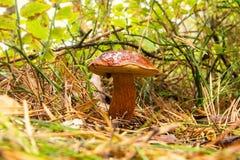 Seta del bosque del otoño Foto de archivo libre de regalías