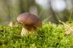 Seta del Cep en una escena del bosque Fotografía de archivo libre de regalías