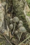 Seta del Coprinus en bosque oscuro Imagenes de archivo