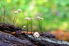 Seta del epiphyllus del Marasmius Fotos de archivo libres de regalías