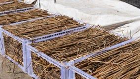 Seta del fimetarrius del Coprinus que crece en la paja del arroz fotos de archivo