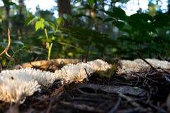 Seta del kunzei de Ramariopsis que crece en línea en la selva tropical en el bonito, el Brasil Fotografía de archivo