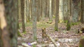 Seta del Morchella de Gyromitra en la tierra en el bosque de la primavera metrajes