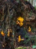 Seta del salsifí - ciscosa de Calocera Fotos de archivo