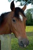 Seta do branco do cavalo de Brown Imagens de Stock Royalty Free