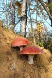 Seta dos que crece en el bosque foto de archivo libre de regalías