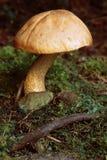 Seta en tierra cubierta de musgo Imagen de archivo libre de regalías