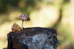 Seta en un tocón de árbol Foto de archivo libre de regalías