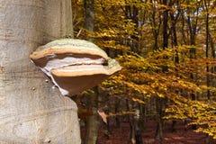 Seta fungosa de la yesca en un tronco de árbol Foto de archivo libre de regalías