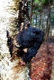 Seta grande del Conk de Chaga en árbol de abedul Fotografía de archivo