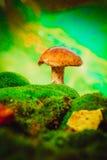 Seta marrón fresca del boleto del casquillo en musgo en la lluvia Foto de archivo libre de regalías