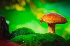 Seta marrón fresca del boleto del casquillo en musgo en la lluvia Fotografía de archivo libre de regalías