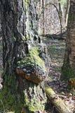 Seta medicinal de Chaga en el tronco de un abedul Imagenes de archivo