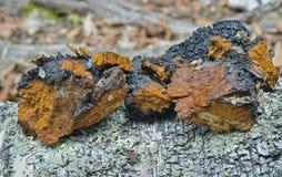 Seta medicinal (Inonotus oblicuo) 1 Imágenes de archivo libres de regalías