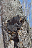 Seta medicinal (Inonotus oblicuo) Foto de archivo