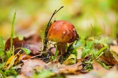 Seta no comestible con el sombrero marrón claro en bosque Fotos de archivo