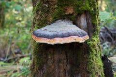 Seta parásita en el tronco de un árbol Imagenes de archivo