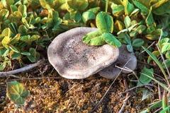 Seta plana en hierba verde Foto de archivo