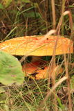 Seta rematada plana en bosque de la caída Foto de archivo