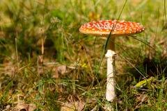 Seta roja en el bosque del otoño Imágenes de archivo libres de regalías