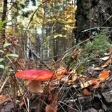 Seta roja manchada hermosa en un claro del bosque Imagen de archivo