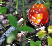 Seta roja manchada hermosa en un claro del bosque Foto de archivo