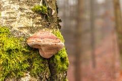 Seta salvaje en tronco de árbol de abedul en bosque del otoño Imágenes de archivo libres de regalías