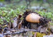 Seta sola del bosque Fotografía de archivo
