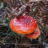 Seta venenosa con un sombrero manchado rojo fotografía de archivo libre de regalías