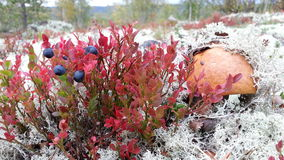 Seta y bayas en musgo en el bosque septentrional del otoño Imágenes de archivo libres de regalías