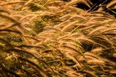 Setaceum de Pennisetum, généralement connu sous le nom de fountaingrass cramoisis images stock