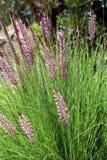 Setaceum del Pennisetum, un'erba di mazzo perenne Fotografia Stock Libera da Diritti