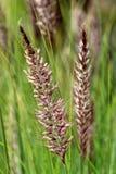 Setaceum del Pennisetum, una hierba de manojo perenne Fotografía de archivo
