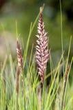 Setaceum del Pennisetum, una hierba de manojo perenne Fotos de archivo