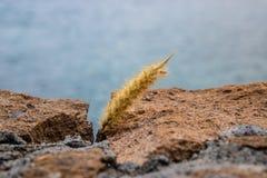 Setaceum entre as rochas, Tenerife do pennisetum da grama da cauda de gato, Ilhas Canárias, Espanha - imagem fotografia de stock