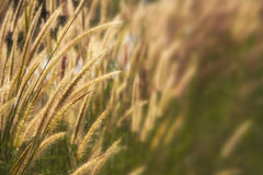 Setaceum pennisetum or gramineae grass field. At morning Stock Photo