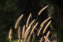 Setaceum pennisetum or gramineae grass field Royalty Free Stock Images