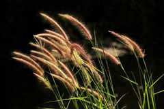 Setaceum pennisetum or gramineae grass field. At morning Royalty Free Stock Photo