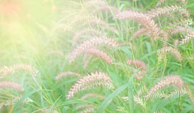 Setaceum pennisetum  grass Stock Photo