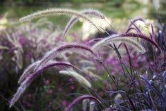 Setaria одичалой травы пошатывая в ветре Стоковое Фото