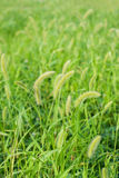 Setaria Royalty Free Stock Photo
